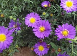 蓝色菊花图片
