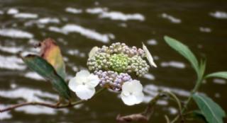 漂亮珍珠花图片