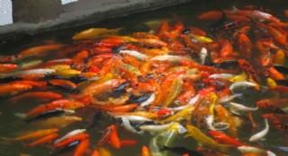 景观鱼图片